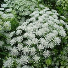 Check out the deal on Ammi Majus Graceland 500 seeds at Hazzard's Seeds Zinnias, Petunias, Perennial Vegetables, Great Cuts, Seed Catalogs, Moon Garden, Queen Annes Lace, Garden Living, Types Of Soil