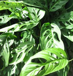 Swiss Cheese Plant—How to Monstera adansonii: A juvenile M. adansonii