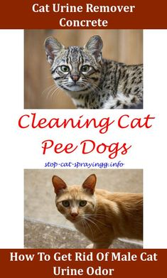 Clean Cat Spraying How To Eliminate Cat Pee Odor Cat Wont Stop Peeing In House Cat Peeing Faces How To Neutralize Cat Urine,best cat urine eliminator.Cat Pee Pet Urine Get Rid Of Cat Pee Smell In House,cat spraying hydrogen peroxide if i get my cat neuter