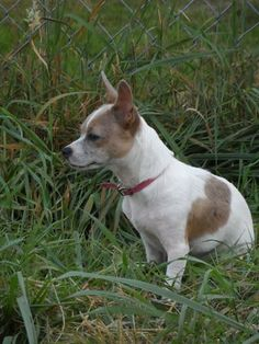 Terriers Dog For Sale Seattle