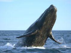 Der Blauwal wird bis zu 33,6 Meter lang und wiegt maximal 200 Tonnen. – Bild: Shutterstock / rm www.einfachtierisch.de