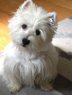 Westie....beautiful girl.