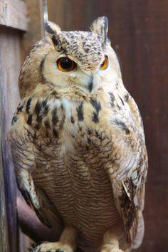 Pharaoh Eagle Owl (Source: flickr.com)