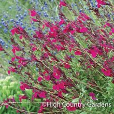 Raspberry Delight is a outstanding native Salvia hybrid with a summer long display of stunning raspberry-red flowers and excellent cold hardiness (once established). The aromatic foliage has a sweet herbal scent. A High Country Gardens introduction. Red Flowers, Beautiful Flowers, Beautiful Gardens, Miscanthus Sinensis Gracillimus, Salvia Plants, High Country Gardens, Small Gardens, Growing Raspberries, Drought Tolerant Plants
