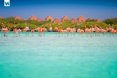 Flamingos on Bonaire Beach, Bonaire, Netherlands Antilles #LIFECommunity #Favorites From Pin Board #10