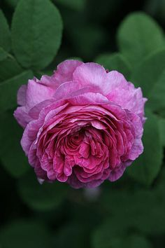Damask Rose: Rosa 'Oeillet Flamand' (origins unknown)