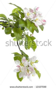 Apple Blossom Flower Stock Photos, Images, & Pictures | Shutterstock