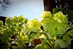 Green Blossoms (www.pointshogger.com)