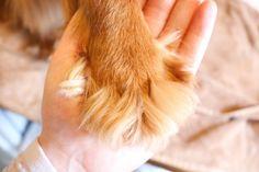 cavalier king charles spaniel fluffy paw