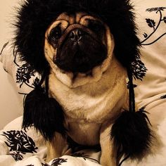 Little black hat #pug #mops #puppy #pugs #dog #hat #back #blackhat