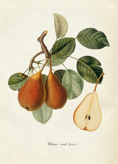 Pear (Pyrus) branch and fruit vintage botanical Vintage Botanical Prints, Botanical Wall Art, Botanical Drawings, Vintage Art, Vintage Botanical Illustration, Vintage Illustrations, Vegetable Illustration, Fruit Illustration, Illustration Botanique