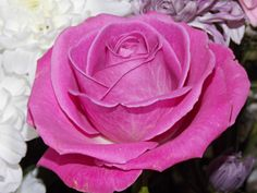 Light Purple Roses | Light Purple Rose by foREVerJimmySullivan Purple Roses Images, Rose Images, Love Flowers, Light Purple, Pretty Pictures, Pretty In Pink, Plants, Google Search, Sweet