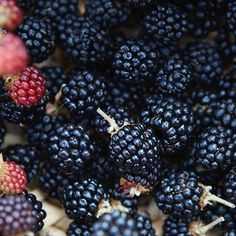 It's blackberry season again and the kitchen are busy collecting #villalena #comeandstaywithus Photo by @theocook