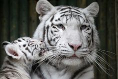 Filhote raro de tigre branco no zoológico de Liberec, na República Tcheca
