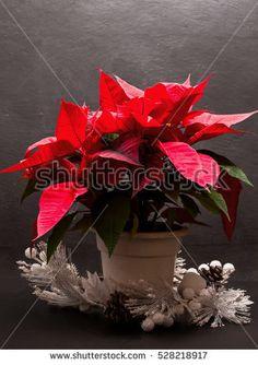 poinsettia plant over slate background