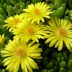 Delosperma nubigenum - RoyalPlant.ro Plants, Plant, Planets