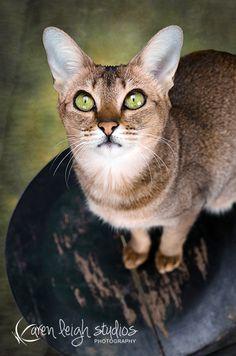 My cat Nala (f4 Chausie)