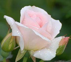 Good morning! La rosée m'a effleurée ♥