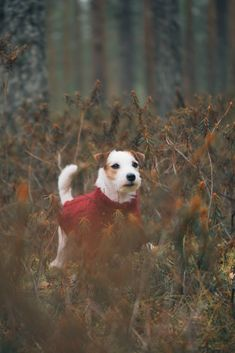 Jack Russell Puppies Cute JRT puppy on Fall forest. All Dogs, I Love Dogs, Best Dogs, Dogs 101, Jack Russells, White Terrier, Bull Terrier Dog, Jack Russell Terrier, Family Dogs