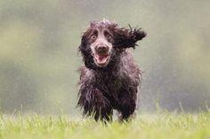Si alguna vez has bañado a tu perro, disfrutado de un día de playa o piscina junto a él, o simplemente salido a pasear en un día de lluvia, seguramente conoces el famoso olor a perro mojado.