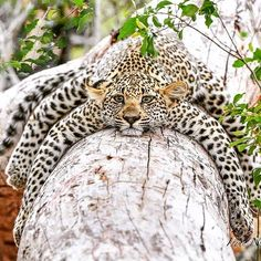 Likes, 174 Comments - Wildlife Big Cats, Cats And Kittens, Cute Cats, Nature Animals, Animals And Pets, Beautiful Cats, Animals Beautiful, Cute Baby Animals, Funny Animals