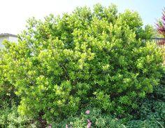 Myrica californica hedge - evergreen