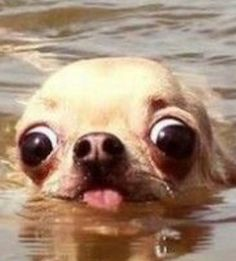 Me drowning in school work Funny Animal Jokes, Cute Funny Animals, Funny Animal Pictures, Funny Dog Faces, Funny Dogs, Cute Love Memes, Cute Little Animals, Cute Dogs And Puppies, Dog Memes