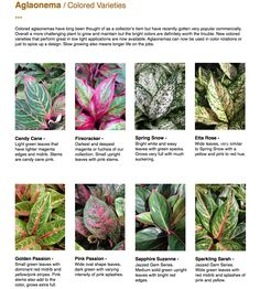 Colorful Plants, Green Plants, Potted Plants, Indoor Plants, Chinese Evergreen Plant, Leaf Identification, Orchids In Water, All About Plants, Pink Plant