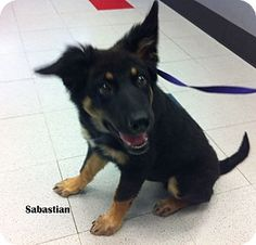 Sabastian is a 4 month old Shepherd/Rott mix who is great with other dogs. He was a stray who was not claimed, he's ready for a family who will love him forever.