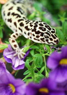 Leopard Gecko: Leopard Geckos have the ability to detach their tail if they are attacked and can regenerate it immediately!