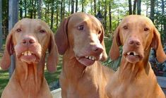3 Funny Dogs With Weird Teeth: check out here 3 very funny and weird dogs, funny dogs, weird face dogs. They really look ugly with their teeth.
