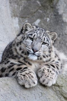 The Snow Leopard face. : The Snow Leopard face. Big Cats, Cool Cats, Cats And Kittens, Siamese Cats, Beautiful Cats, Animals Beautiful, Beautiful Pictures, Cute Baby Animals, Funny Animals