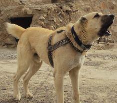 Kuchi Dog / Afghan Sheepdog   Origin: Afghanistan