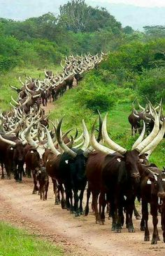 Their huge horns help dissipate excess body heat in their hot climate
