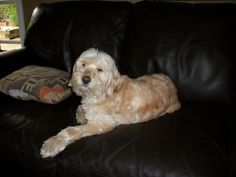 Lacey...getting comfortable in your new home...after your first grooming.
