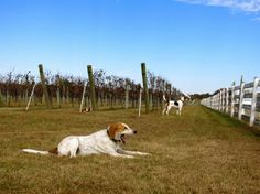 The Dog and Oyster Vineyard gets its name in part from the loyal vineyard dogs who guard its crops from deer and other wildlife.