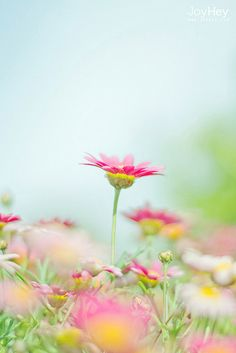 Pastel Daisies by JoyHey on Flickr. | pretty little flower