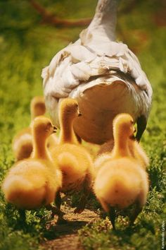 But the one little duck with the feather on his back........Quack Quack Quack!