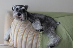 @Brittany Horton...schnauzer on the back of the couch!lol!
