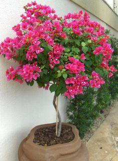 Bougainvillea, House Plants Decor, Plant Decor, Beautiful Gardens, Beautiful Flowers, Plantas Bonsai, Deco Floral, Landscaping Plants, Tropical Garden