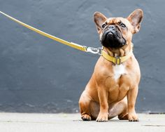 Yellow dog collar and lead with marine grade steel hardware www.hindquarters.com #frenchie #dogcollar #doglead #dogs #yellow