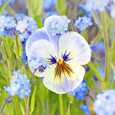 Beautiful blue pansy in the middle of Forget-me-nots