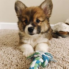 "Discover additional info on ""small dogs"". Visit our website. Cute Baby Dogs, Cute Dogs And Puppies, Baby Puppies, Cute Baby Animals, Animals And Pets, Cute Corgi, Corgi Dog, Really Cute Dogs, I Love Dogs"