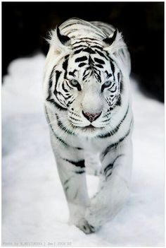 White tiger with blue eyes. Love them!!!
