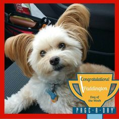 A five-year-old rescue who found his forever home in 2011 Paddington has his own Facebook page Unofficial Paddington and is known to friends and family as The Happiness Ambassador. His humans are Karyn and Mark of Hayward CA. Hes small but fierce with his chew toys and tender and cuddly with his family. Congratulations to Paddington our Page-A-Day Dog of the Week! Vote for Top Dog! http://ift.tt/1P29vGs #365Dogs #petsofpageaday #DogsofInstagram #DogsofPageADay #DogsofInstaworld…