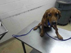 COPPER - ID#A466816 - URGENT - Harris County Animal Shelter in Houston, Texas - ADOPT OR FOSTER - 5 MONTH OLD Male Bloodhound - at the shelter since Aug 25, 2016.