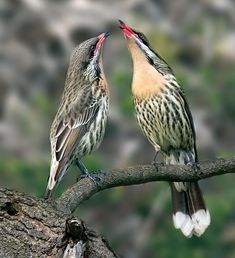 Spiny-cheeked Honeyeater - Google Search