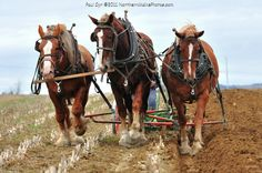 Northern Maine Amish work horses.