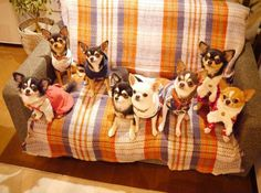 Chihuahua Care - 5 Important Issues Every Owner Should Know - Dog Pets Zone Teacup Chihuahua, Chihuahua Love, Chihuahua Puppies, Cute Puppies, Cute Dogs, Dogs And Puppies, Doggies, Animals And Pets, Cute Animals
