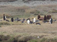 Pingüinos Rey. Parque Pingüino Rey. Tierra del Fuego. XII Región de Magallanes. Chile.